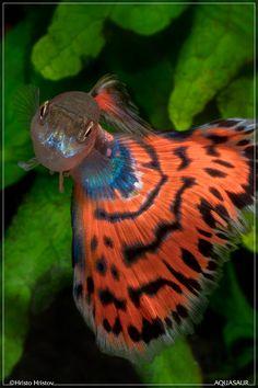 Red Mosaic Guppy