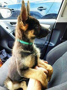 GSD Puppy  // KaufmannsPuppyTraining.com // Kaufmann's Puppy Training // dog training // dog love // puppy love