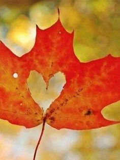 Cute! ~ autumn leaf with heart shape torn out