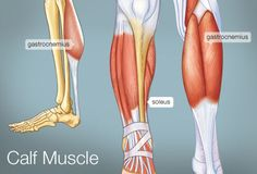 Muscle groups slides - starting here at calf muscle