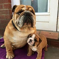 Proud Dad. Bulldog and his puppy.
