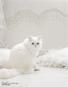 ::this white kitty looks so fluffy!!::