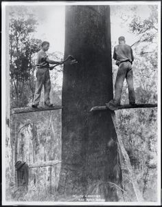 Logging, Australia, Loggers Two men felling a gum tree (eucalyptus tree), Photo Print Giant Tree, Big Tree, Tree Felling, Logging Equipment, Historical Pictures, View Image, Old Photos, American History, Cool Pictures