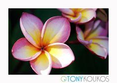 flower, vibrant, colour, colourful, petals, texture, nature, bud, Thailand, islands, pink, fuchsia, yellow, travel, art, photography, Tony Koukos, Koukos, EXO004C-A