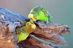 cria y reproduccion de periquitos australianos