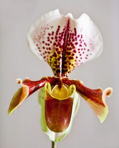 Orchid by tor_h, via Flickr