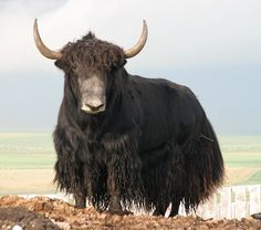 Yak - A long-haired animal found throughout the Himalayan region of south Central Asia, the Tibetan Plateau and as far north as Mongolia and Russia. They are related to cattle and bison.  Most yaks are domesticated, but there are some herds of wild yaks.   - info from Wikipedia
