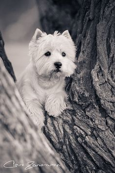The Westie on Squirrel Lookout