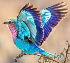 Lilac Breasted Roller Bird - Google Search