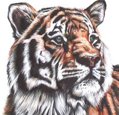 Colour Biro Drawing of a Tiger / Close Up / Animal Art / Tiger Gift