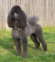 Poodles – One Adorable Dog In Many Convenient Sizes - Champion Dogs Poodle Grooming, Dog Grooming, French Poodles, Standard Poodles, Red Poodles, Poodle Haircut Styles, Poodle Hairstyles, Silver Poodle, Poodle Cuts