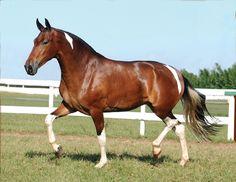 CAVALO CAMPOLINA Campolina, Pretty Horses, Beautiful Horses, Simply Beautiful, Horse Armor, Akhal Teke, Horse World, Trail Riding, Horse Breeds