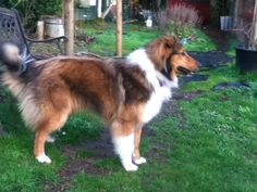 Shep, a wonderful, old-fashioned Farm Collie. Collie Mix, Rough Collie, English Shepherd, Australian Shepherd, Welsh Sheepdog, Scotch Collie, Black And White Dog, Lynx, Animal Tattoos