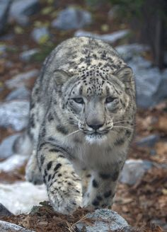 ipernity: Snow Leopard - by Pete Foley Flickr Refugee