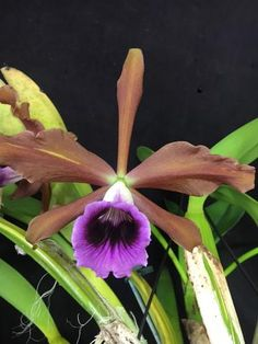 Monster size Laelia tennabrosa in bloom huge 3 year establsihed plants