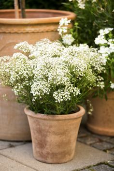 baby's breath in a pot