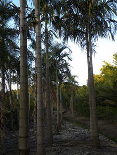 Carpentaria acuminata 51.jpg