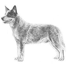 avatar_cattledog