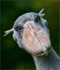 Schuhschnabel-This bird actually exists... And yes! Weird thing to repin I know.
