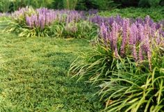 Monkey Grass: A Spectacular Ground Cover For The Lawn - With so many ground covers to choose from, picking one that serves all your needs can sometimes be tricky, especially when it comes to trouble spots in the lawn. However, there's one ground cover that literally 'covers' it all. From problem areas to attractive edging, monkey grass is an easy-care, low-maintenance ground cover that offers homeowners countless possibilities for use in the lawn and surrounding landscape.