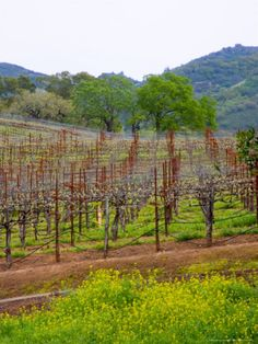 Vineyards in Early Spring, Sonoma Valley, California. Photo: Julie Eggers