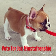 Please please vote for Jax on Instagram @instafrenchie !!!