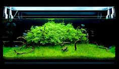 Lush aquascape with gouramis