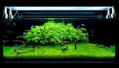 """Lush aquascape with gouramis"" -- I want an aquarium like this"