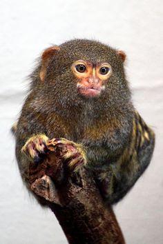 Zwergseidenäffchen - Cebuella pygmaea - Pygmy Marmoset (by StefanKoeder) Primates, Mammals, Animal Pictures, Cute Pictures, Pygmy Marmoset, New World Monkey, Carnival Of The Animals, Ape Monkey, Endangered Species