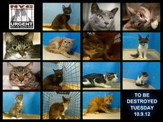 Tonight's list is posted. 14 cats are scheduled to lose their lives tomorrow morning in NYC!    Go to the ACC website http://www.nycacc.org/PublicAtRisk.htm to adopt a PUBLIC LIST cat (noted on their profile) but ONLY if you're serious about adopting & ONLY if you're able TO GO the shelter IN PERSON w/in 48 hrs. Or work w/a rescue group if you can adopt/foster ANY cats on the list tonight.    To rescue a Death Row Cat pls read this: https://www.facebook.com/PetsOnDeathRow/app_396393053713168