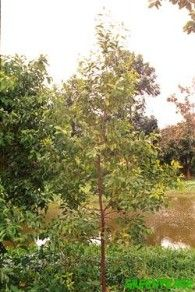 About the Sandalwood Tree | Greenpeace India