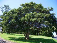 Ficus rubiginosa Port jackson fig