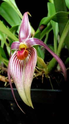 Bulbo inunctum - Orchid Forum by The Orchid Source