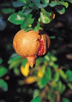 Pomegranates, a fruit popular in Spanish and Middle Eastern cuisine, can add beauty and function to a garden. The tall, broad tree grows in U.S. Department of Agriculture hardiness zones 7 through ...