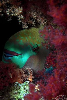 I have disturbed this Parrotfish and awakened her during a night dive; yet she gave me a friendly smile! Beneath The Sea, Under The Sea, Happy Fishing, Jacques Yves Cousteau, Parrot Fish, Beautiful Fish, Underwater World, Underwater Photography, Marine Life