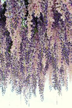 Would love to recreate this hanging wisteria idea in the barn...mixed with lighting (lanterns with fake candles inside?)