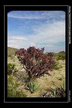 Opuntia imbricata violacea | por Sphenodiscus