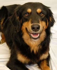 Taz - English Shepherd - 1 yr old -  Avery County Humane Society - Newland, NC. - http://www.adoptapet.com/pet/10701641-newland-north-carolina-english-shepherd - https://www.facebook.com/AveryHumane?ref=hl - http://www.averyhumane.org/catalog/dogs.php?page=5 - http://www.petfinder.com/petdetail/29089725/