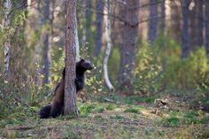 Wolverine (Gulo gulo). Finland. Photo by Scott Grubb (at https://www.flickr.com/photos/scottgrubb/21435877374/).