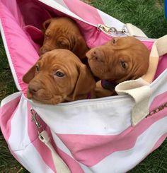A bag of Viszla's. I'd take them shopping.