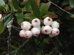 Snowberries and other native Aussie food