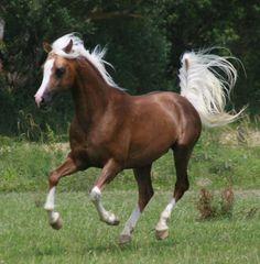 Chocolate Palomino Arabian Horse