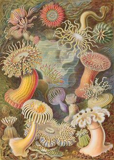 Sea Anemone - Kunstformen der Natur (German for Art Forms of Nature) is a book of lithographic and autotype prints by German biologist Ernst Haeckel. Illustration Botanique, Botanical Illustration, Illustration Art, Art Et Nature, Nature Drawing, Nature Prints, Book Drawing, Ernst Haeckel Art, Natural Form Art