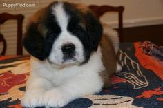 St. Bernard puppy! One of these days I will have a saint bernard!I just wish they were a little smaller.