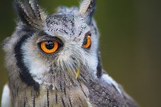 #commoncreativeimages #eyes #forest #freeimages #freephotos #jungle #owl #royaltyfree #wild #wallpaper