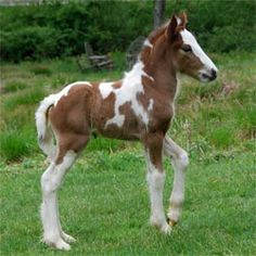 Gypsy Horse Foal ~ SO PRETTY, WILL BE AN AMAZING LOOKING ADULT ~