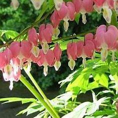 Dicentra spectabilis (gebroken hartje). Uitstekende plant voor de halve schaduw, draagt rode, hartvormige bloemen. Wanneer en hoe snoeien.....