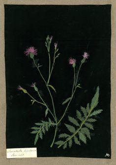 Mary Delany botanical collage: Serratula Tinctoria, 1782