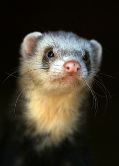 ferret ~ luv these lil guys