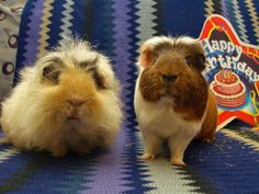 The Guinea Pig Daily: Mal & Griff